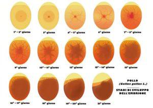 embrione2