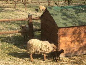 pecore82018